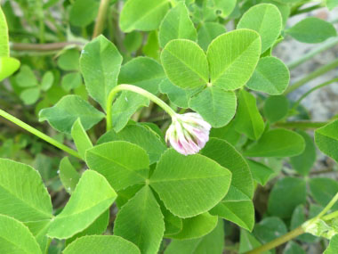 alsike clover leaves