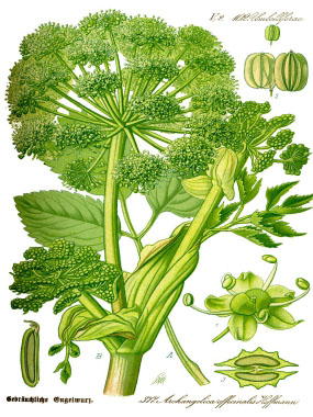 angelica botanical drawing