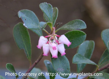 bearberry flowers