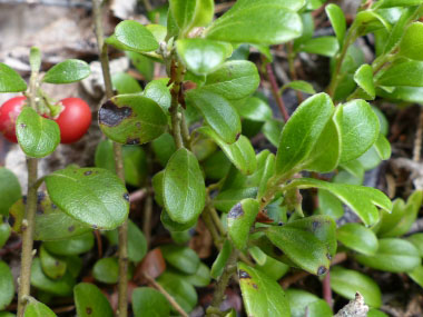 bearberry leaves