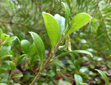 bearberry stem