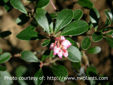 Bearberry: Pictures, Flowers, Leaves and Identification