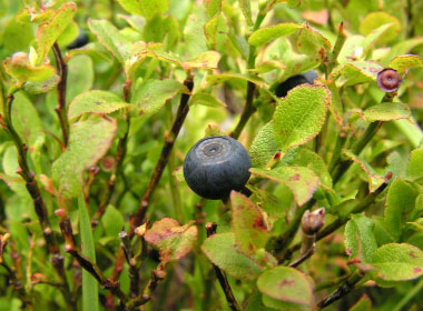 bilberry shrub