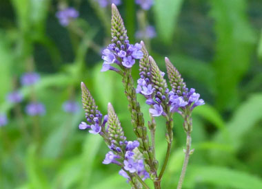 Blue Vervain: Pictures, Flowers, Leaves and Identification | Verbena
