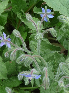 borage stems