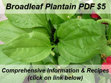 broadleaf plantain leaves