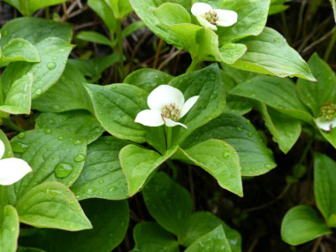 bunchberry plants
