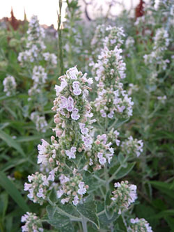 Catnip: Pictures, Flowers, Leaves and Identification | Nepata cataria