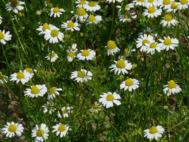 Chamomile Pictures Flowers Leaves Identification Matricaria Recutita