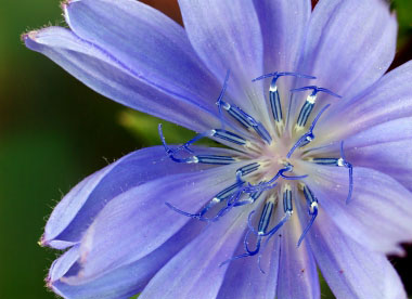Chicory Pictures Flowers Leaves And Identification
