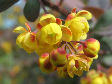 barberry flower close up