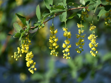 common barberry flowers