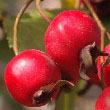 Common Hawthorn