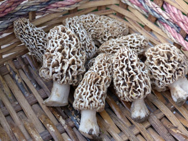 may yellow morels