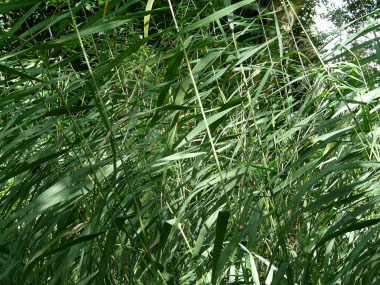 common reed leaves