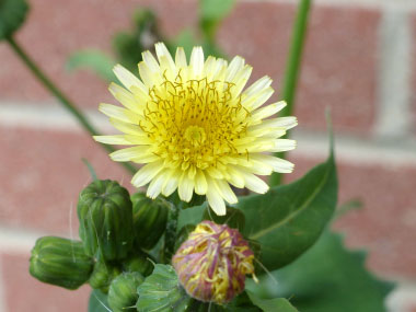 common sow thistle flower