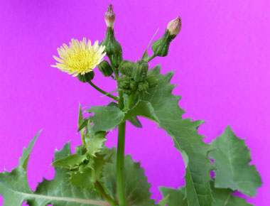 common sow thistle top