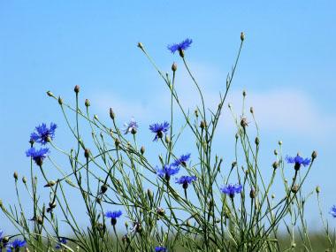 Cornflower Pictures Flowers Leaves Identification Centaurea Cyanus