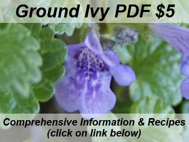 ground ivy flower