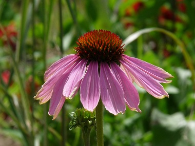 Echinacea pictures flowers leaves and identification echinacea echinacea leaves echinacea flower echinacea leaves echinacea picture echinacea mightylinksfo