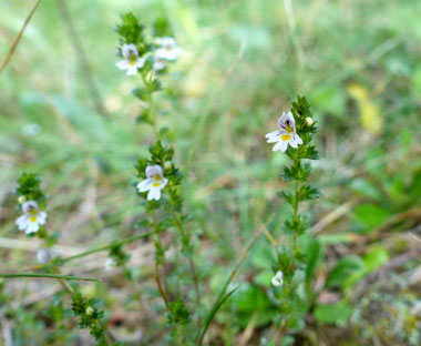 Eyebright  Pictures  Flowers  Leaves