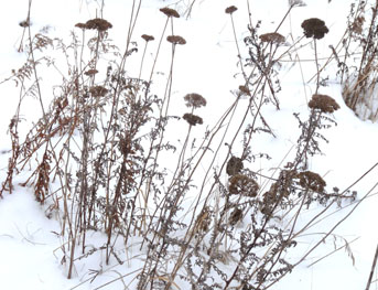 yarrow winter 1