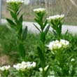 Field Pennycress