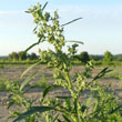 Figleaved Goosefoot