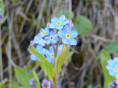 forget me not closeup