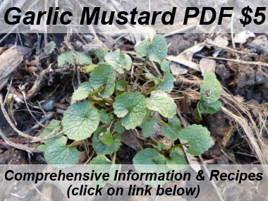 garlic mustard new growth
