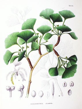Ginkgo biloba botanical drawing