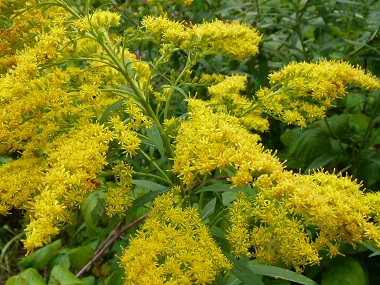 Goldenrod Pictures Flowers Leaves And Identification Solidago