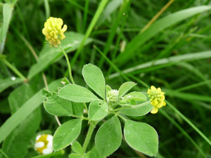 Hop clover pictures flowers leaves and identification trifolium hop clover flowers hop clover flowers hop clover leaves hop clover plant mightylinksfo