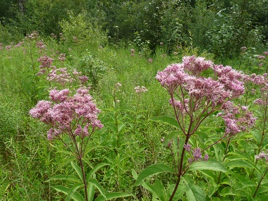 joe pye weed picture
