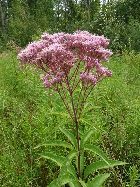 Joe Pye Weed Pictures Flowers Leaves And Identification