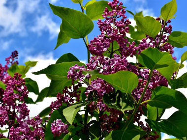 Lilac Identification Leaves Bark Habitat Syringa Spp