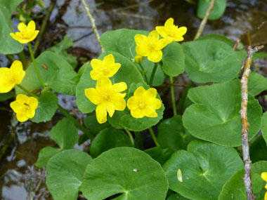 marsh marigold flowers 2