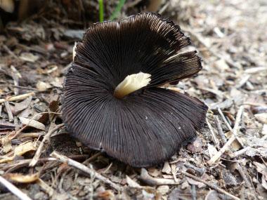 Mica Cap: Identify via Pictures, Habitat, Season & Spore