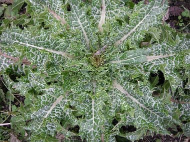 thistle_leaves