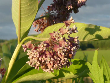 common milkweed flowers