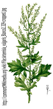 Mugwort Pictures Flowers Leaves And Identification