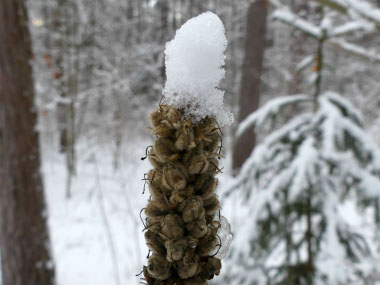 mullein in winter