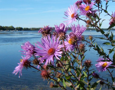 new england aster plant