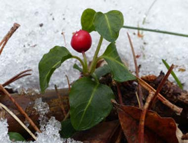 partridgeberry in snow