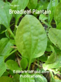 Broadleaf Plantain Magazine