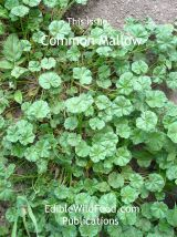 Common Mallow Magazine