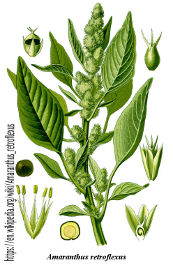 Pigweed: Pictures, Flowers, Leaves and Identification ...