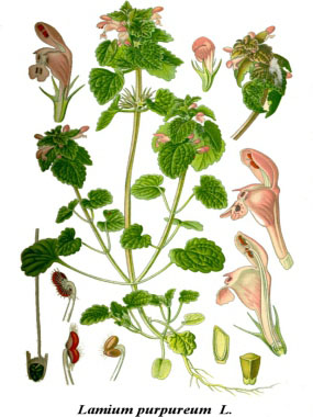 Lamium purpureum botanical