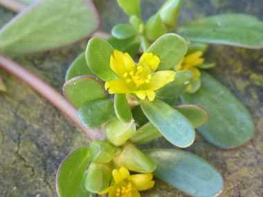 purslane closeup flower