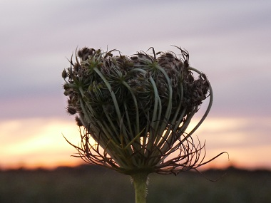 queen annes lace seeds